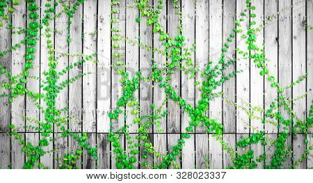 Green Ivy Climbing On Wood Fence. Creeper Plant On Gray And White Wooden Wall Of House. Ivy Vine Gro