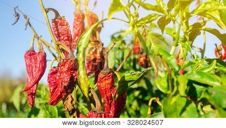 Dry wilted hot red bell pepper grows in the field. Vegetable disease. Global warming and poor harvest. Agribusiness. Agro industry. Growing Organic Vegetables. Agriculture and farming poster
