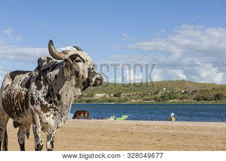 Ox On The Fluvial Beach Of Ilha Do Ferro In Pão De Açúcar, Alagoas, Brazil