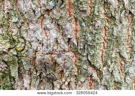Natural Texture - Uneven Bark On Old Trunk Of Ash Tree (fraxinus Excelsior) Close Up
