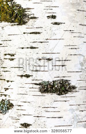 Natural Texture - Part Of White Trunk Of Birch Tree (betula Alba) Close Up