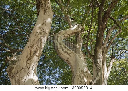 Libidibia Ferrea, Formerly Caesalpinia Ferrea, And Commonly Known As Pau Ferro, Brazilian Ironwood,