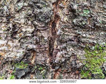 Natural Texture - Cracked Bark On Old Trunk Of Cherry Tree (prunus Cerasus) Close Up