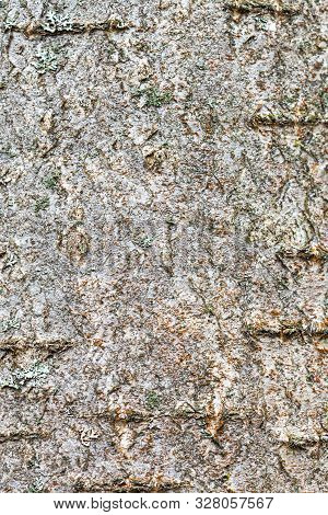 Natural Texture - Rough Bark On Trunk Of Rowan Tree (sorbus Aucuparia) Close Up