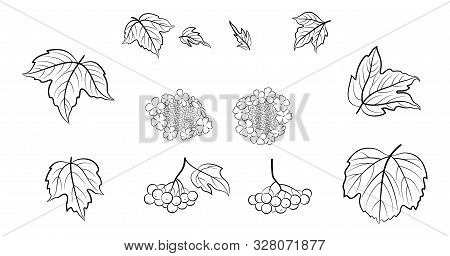 Set Of Viburnum Leaves, Berries And Flowers, Black Pictograms Isolated On White. Vector