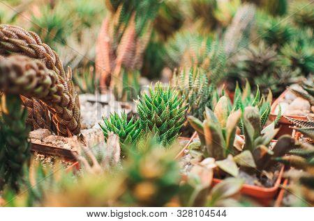 Succulents, Echeveria Kalanchoe Succulent House Plants.aloe Ostifolia Is Succulent Herbaceous Plant,