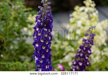Blue Delphinium Flowers Outdoor Closeup Macro
