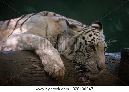 Portrait Of A White Tiger Sleeping On A Log