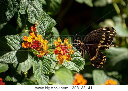 Side View Of A Black And Yellow Butterfly On Small Flowers