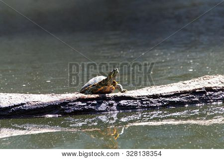 One Slider Turtle Sunning On A Log Floating In The Water, Looking To Viewers Right. Also Known As Th