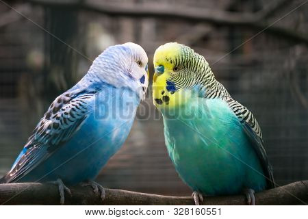 Colorful Budgies With Bright Colors Look At Each Other.