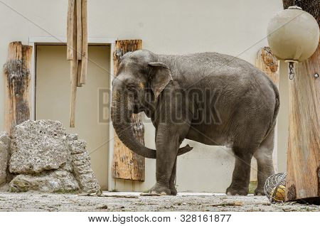 Artistic Portrait Of A Pachyderm Elephant In The Zoo.