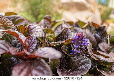 Bush Reptans Tenacious Little Blue Flowers Growing In The Garden. Close Up