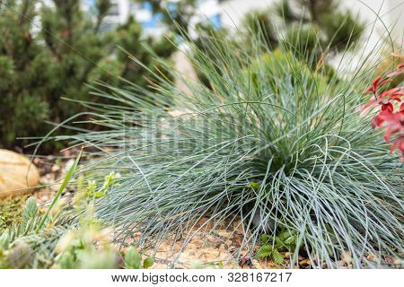 Festuca Glauca Or Blue Fescue, Is A Species Of Flowering Plant In The Poaceae. It Is Usually A Culti