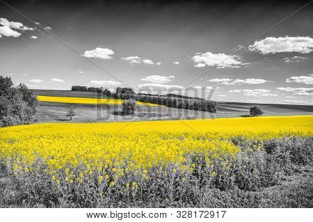Shining Yellow Oilseed Rape Fields In A Black And White Landscape. Artistically Alienated With The C