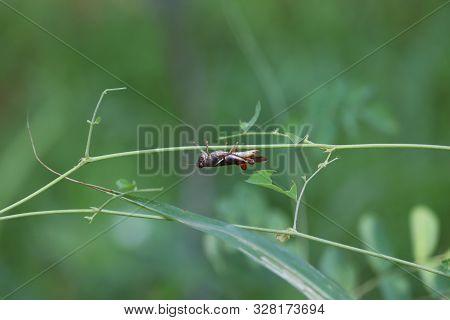 Green Grasshopper Sitting On A Leaf, Small Grasshopper, Selected Focus, Grasshopper In The Garden -