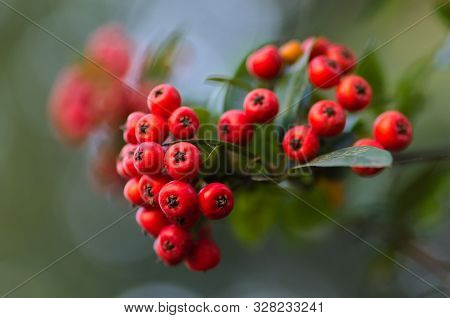 Non Edible Toxic Red Berries, Pyracanthas, Rosaceae