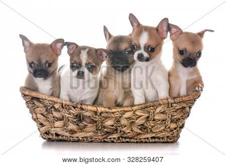 litter of chihuahua puppies in a wicker basket isolated on white background