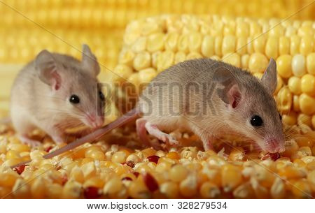 Closeup Two Curious Young Gray Mouse Sneak In The Corn Barn. Concept Of Rodent Control. Small Dof Fo