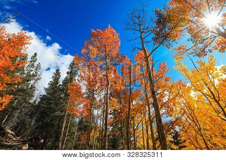 Tall Aspen trees and sun flare, focused on Aspen trees