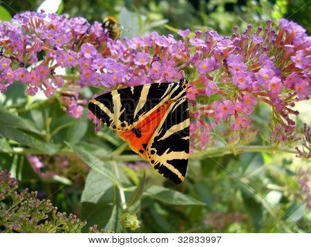 Jersey Tiger Butterfly