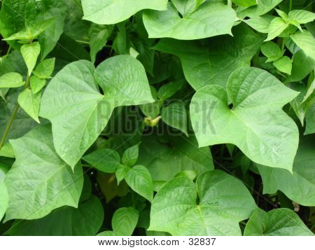 Green Luscious