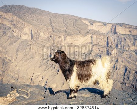 Arabian tahr or mountain goat with Wadi Ghul at Jebel Shams in Oman in the background