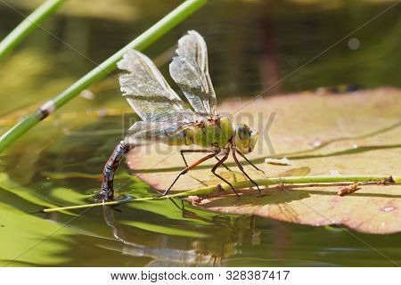 Female Emperor Dragonfly, Anax Imperator, Ovipositing On A Lily Pad.
