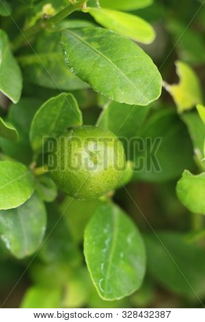 Lemon Fruit On The Tree With Nature