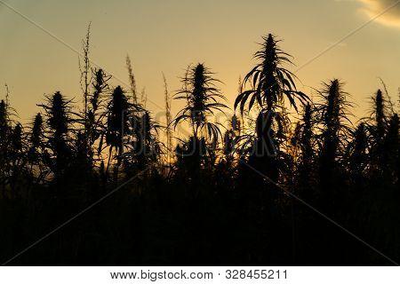 Silhouette Of Marijuana Plants At Outdoor Cannabis Farm Field In Sunset And Sun Behind Plants. Hemp