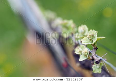 Grape Wine Sprouts