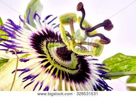 Close Up Photography Of Passiflora Caerulea Flower