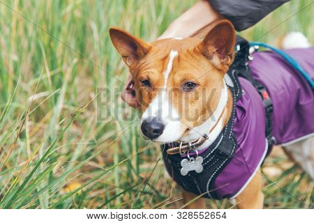 Basenji Dog Is Dressed In Pet Clothes - Violet Color Coat And Special Puppy Harness. Dog Is Walking