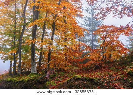 Autumnal Beech Forest Background. Wet Foliage In Fall Colors. Mysterious Weather Condition On A Fogg