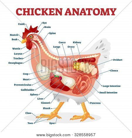 Chicken Anatomy Vector Illustration. Labeled Biological Inner Organs Scheme. Zoological Graphic With