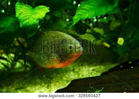 Hidden piranha in a natural environment. Underwater view with fish. Life in tropical waters.