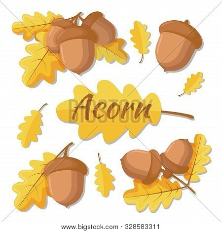 Vector Illustration Of Oak Acorn. Oak Tree Branch With Leaves And Acorns. Acorn Separate, Acorn With