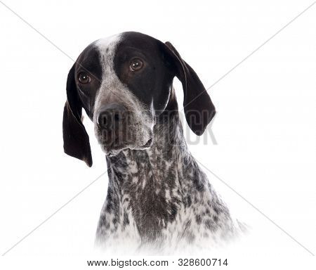 German shorthair pointer isolated on white background