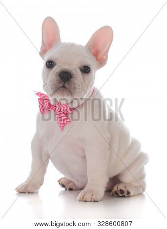 female French bulldog puppy wearing a bow tie isolated on white background