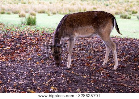 View Of A Young Fallow Deer While Eating, Latin Dama Dama