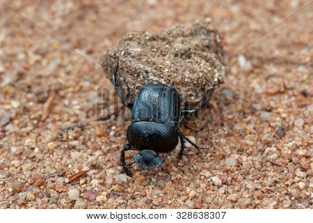 Single black dung beetle carry the dung through the warm sand