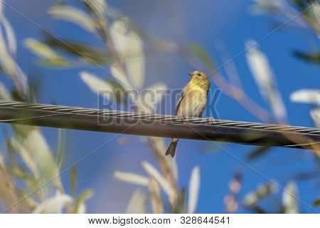 Adorable And Colorful Pine Warbler Bird Has Head Turned To Keep Watchful Eye Out For Danger While Pe