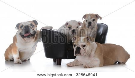 English bulldog family with mother, father and two puppies