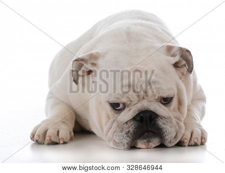 English bulldog laying down isolated on white background
