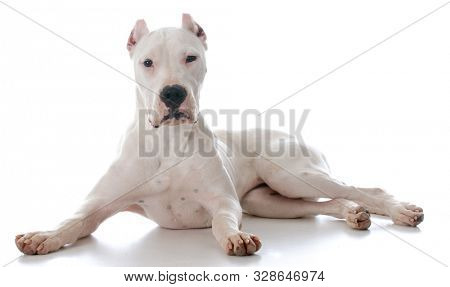 dogo Argentine laying down looking at viewer isolated on white background