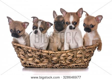 litter of five chihuahua puppies in a wicker basket isolated on white background