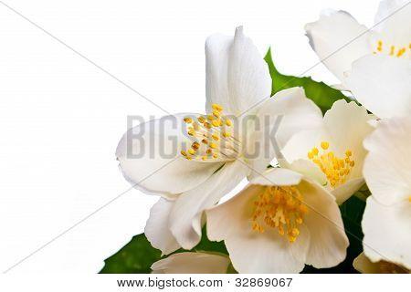 Flower Of Jasmine.