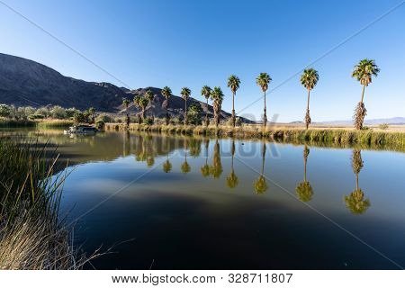 Afternoon view of palm trees at Soda Springs pond in the Mojave desert near Zzyzx, California.
