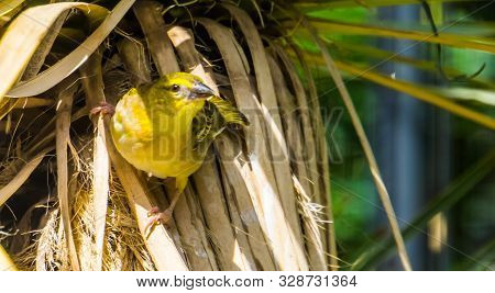 Beautiful Closeup Portrait Of A Village Weaver Bird, Tropical Bird Specie From Africa