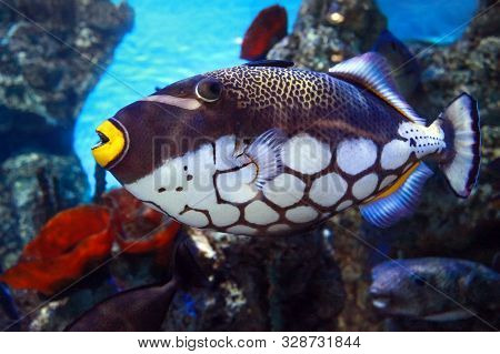 Tropical Fish Balistoides Conspilum In Coral Reef Seawater